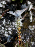 Högnordisk blåvinge   Arctic Blue   Agriades aquilo