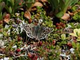 Myrvisslare - Northern Grizzled Skipper (Pyrgus centaureae)