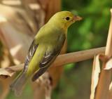 Birdtrip to Azores October 2016