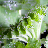 12th May 2013 - Alchemilla mollis