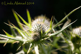 19th June 2014 - prickly