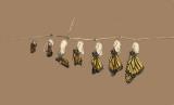 Monarch butterfly IMG_3843 3  XXX.jpg