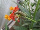 monarch caterpillar,  2014 028.jpg Monarch butterfly