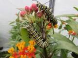 2014 141.jpg Monarch butterfly