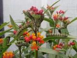 2014 145.jpg Monarch butterfly