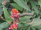 2014 150.jpg Monarch butterfly