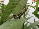 2014 154.jpg Monarch butterfly,Milkweed