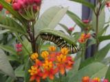 - 2014 165.jpg Monarch butterfly, Milkweed