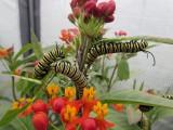 2014 169.jpg Monarch butterfly, Milkweed