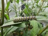 Monarch butterfly 2014 174.jpg