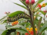 2014 207.jpg Monarch butterfly,Milkweed