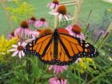 Monarch butterfly, 2014 316.jpg