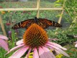 2014 329.jpg Monarch butterfly