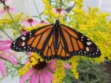 2014 341.jpg Monarch butterfly