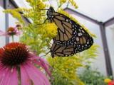 2014 373.jpg Monarch butterfly