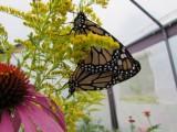 2014 390.jpg Monarch butterfly