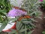 2014 392.jpg Monarch butterfly