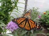 2014 407.jpg Monarch butterfly