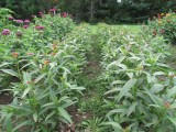 Milkweed  2014 589.jpg