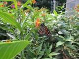 2014 629.jpg Monarch butterfly