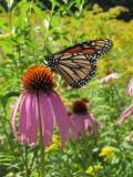 2014 645.jpg Monarch butterfly