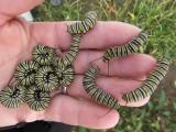 Monarch butterfly  2014 177.jpg