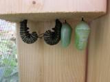 Monarch butterfly 2014 181.jpg