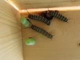 Monarch butterfly 2014 189.jpg