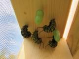 Monarch butterfly 9 - 12 - 2014 090.jpg