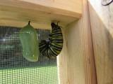Monarch butterfly 9 - 12 - 2014 113.jpg