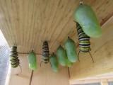 Monarch butterfly 9 - 12 - 2014 132.jpg