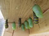 monarch caterpillar  9 - 12 - 2014 134.jpg