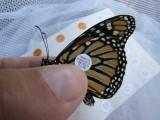 Monarch butterfly 9 - 12 - 2014 142.jpg