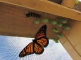 Monarch butterfly 9 - 12 - 2014 164.jpg