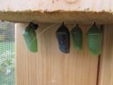 Monarch butterfly 9 - 12 - 2014 203.jpg