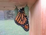 Monarch butterfly 9 - 12 - 2014 225.jpg