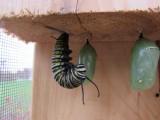 monarch caterpillar  9 - 12 - 2014 230.jpg