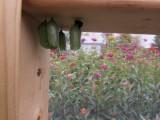 Monarch butterfly 9 - 12 - 2014 236.jpg