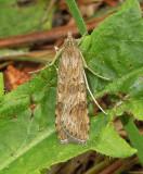Lucerne Moth (5156)