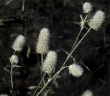 Unknown Botanical