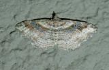 Bent-line Carpet Moth (7416)