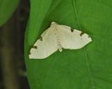 Three-spotted Fillip Moth (7647)