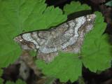 Hypagyrtis Moth Variants (6654 & 6655)
