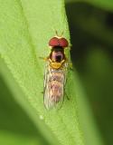 Common Oblique Syrphid (Allograpta obliqua)