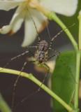 Scytodes spp