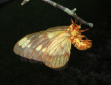 Regal Moth (7706)