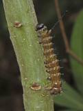 Spiny Oakworm Moth Caterpillar (7716)