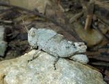 Carolina Grasshopper Nymph