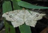 Common Angle Moth (6326)
