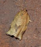Oblique-banded Leafroller Moth (3635)